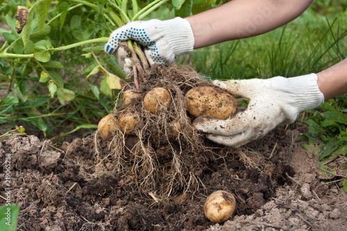 hands of gardener with digging bush potato