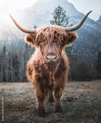 Stampa su Tela Beautiful horned Highland Cattle enjoying the Sunrise on a Frozen Meadow in the