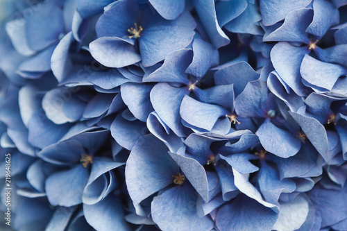 Photo Blue hydrangea flora background closep top view