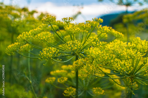 Slika na platnu Garden dill blossoms against the sky on a meadow among the forest