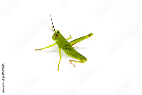 Fotografia Green tropical grasshopper on white background