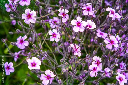 Geranium Madeira blooms in the garden