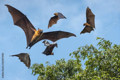 Foto Flying bats ( Lyle's flying fox)