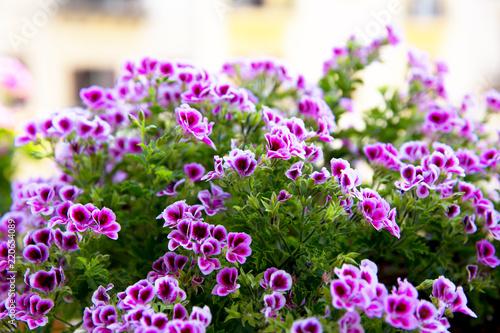 Close up of a pink geranium