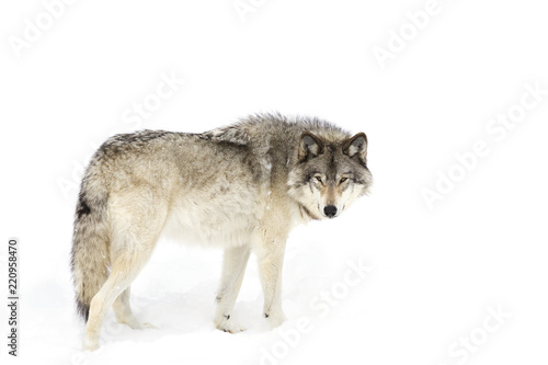 Fototapeta premium Samotny wilk leśny lub wilk szary (Canis lupus) na białym tle na białym tle spacerujący po śniegu zimą w Kanadzie