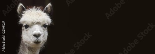 Canvas Print Close up View of a young Alpaca with Copy space in front of black background