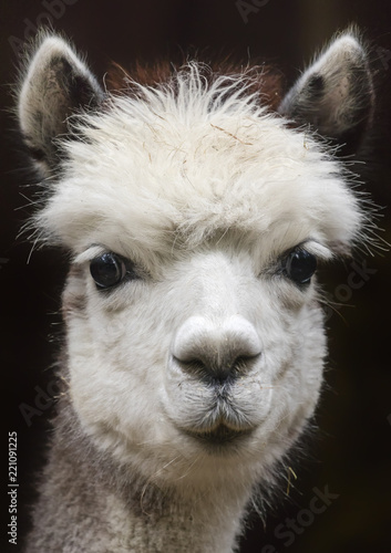 Close up View of a young Alpaca