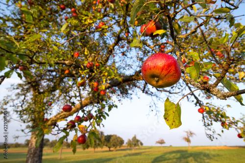 rote Mostäpfel am Baum auf einer württembergischen Streuobstwiese im Spätsommer