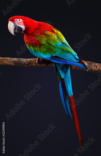 Exotic bird, Macaw Parrot isolated on black