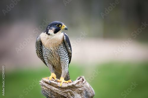 Fotografie, Obraz Peregrine falcon