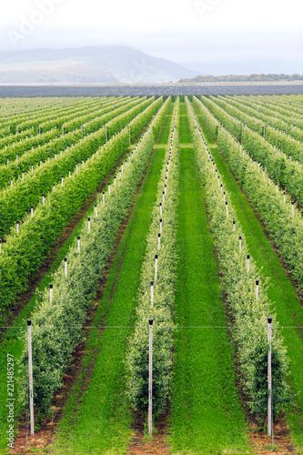 Agriculture. Rows of apple trees grow.