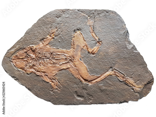 Miocene fossil frog