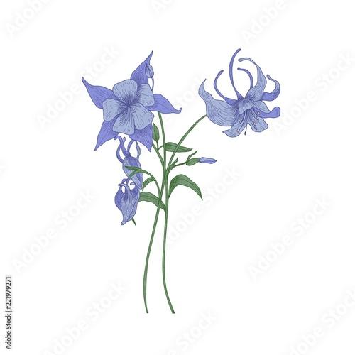 Aquilegia or granny's bonnet flowers isolated on white background Fotobehang