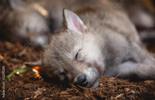 Fototapeta Sleeping Wolf Puppies
