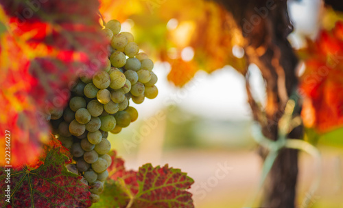 White wine Grapes on a sunny autumn day