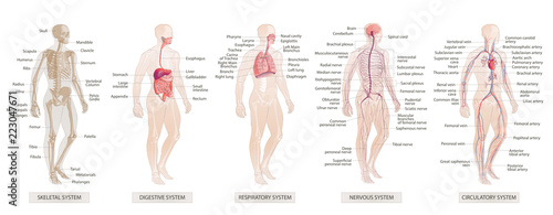 Photographie The vector illustration Human Body Systems Circulatory, Skeletal, Nervous, Diges