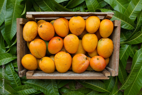 Mangoes tropical fruit in wooden basket on green leaf background just harvest from organic farm