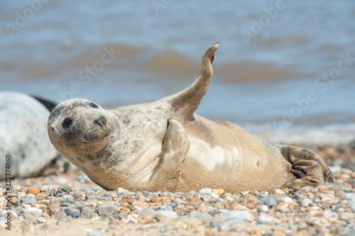 Fototapeta premium radosny szczenię foki na kamienistej plaży