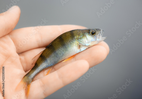 The little perch (Perca fluviatilis) is in human hands on blurred background. The small fish is in a fisherman's palm in outdoors.