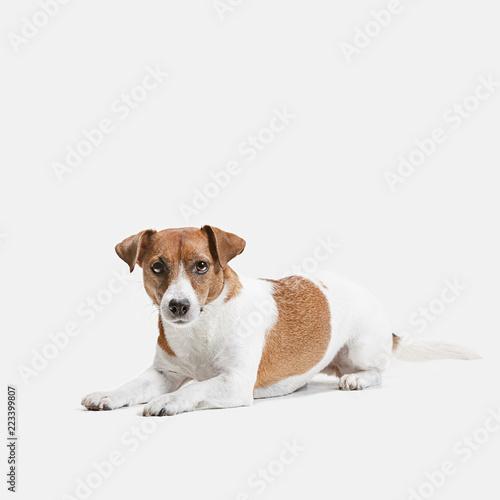 Jack Russell Terrier, isolated on white at studio Fototapeta