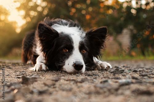 Canvas Print border collie dog beautiful portrait at sunrise in the sun