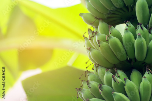 banana tree with unripe raw green bananas bunches growing ripen on the plantation at organic banana farm with warm sunlight in the morning. food and agricultural concept.