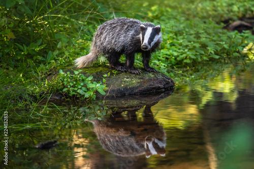 Fotografía Badger in forest, animal in nature habitat, Germany, Europe