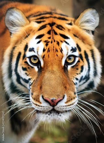 Fototapeta premium Piękny portret z bliska tygrysa syberyjskiego (Panthera tigris tigris), zwanego także tygrysem amurskim