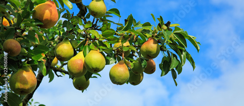 Branch with pears isolated on blue sky. Garden background.
