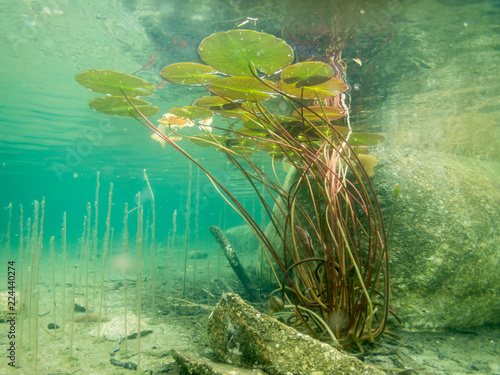 Carta da parati Water lily leaves underwater