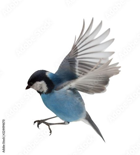photo of isolated blue tit in flight