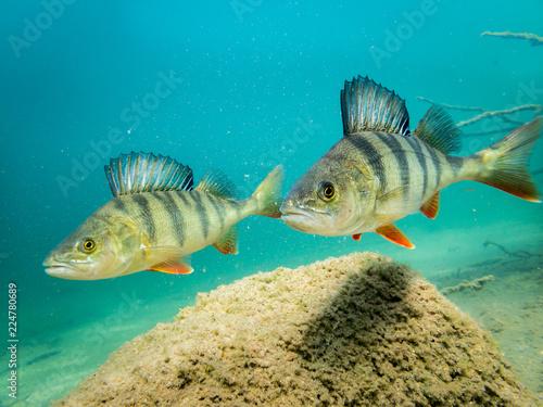 Two European perch in clear water