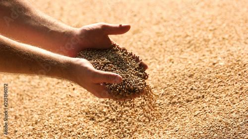 Fotografia Hands with grain corn