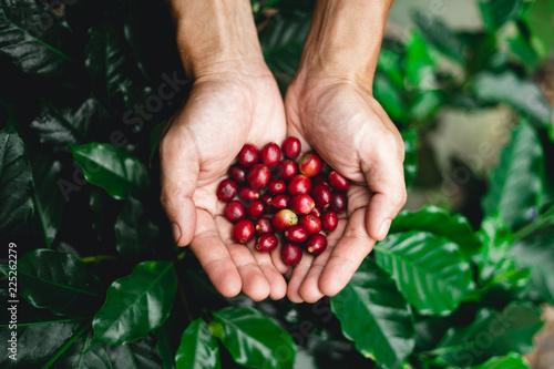 Fototapeta Raw coffee red bean in hand In nature