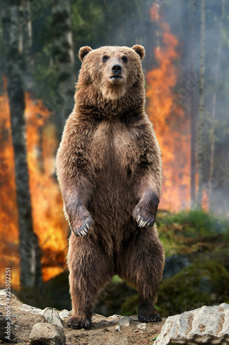 Big brown bear standing stands in burning forest
