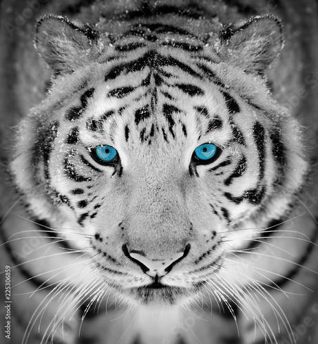 Fototapeta premium Tygrysi portret w zima czasie z niebieskim okiem