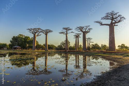 Obraz na płótnie The famous Avenue of the Baobabs in Madagascar