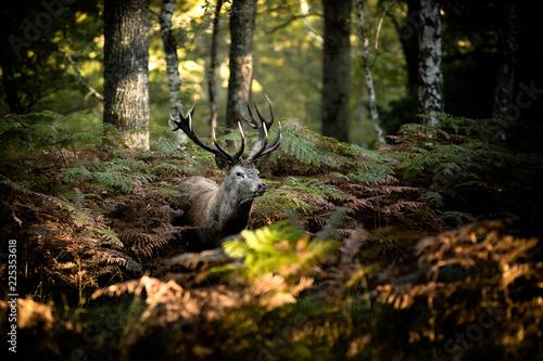 Valokuva cerf brame chasse roi forêt cor mammifère animal sauvage fougère bois caché natu