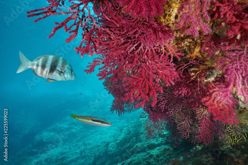 Red gorgonian soft coral, Paramuricea clavata, with fish underwater in the Mediterranean sea, Cap de Creus, Costa Brava, Spain