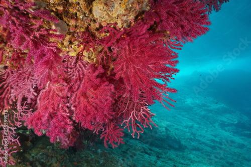 Red gorgonian Paramuricea clavata underwater in the Mediterranean sea, Cap de Creus, Costa Brava, Spain