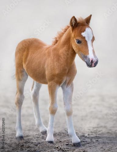 Valokuvatapetti American Miniature Horse