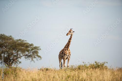 Fototapeta premium Giraffa, Murchison Falls National Park; Uganda, Africa