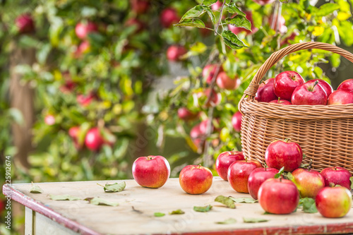Fresh ripe red apples in wooden basket on garden table
