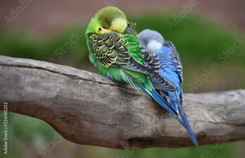 Fototapeta premium Papużki faliste śpią