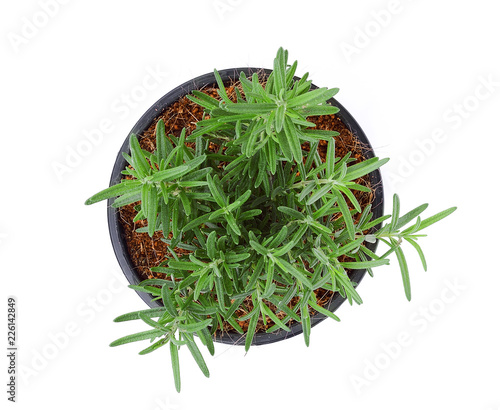 rosemary growing in the black pot isolated on white background, top view, flat lay