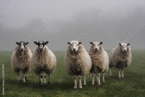 Obraz na płótnie Five sheep lined up in a field on a misty day