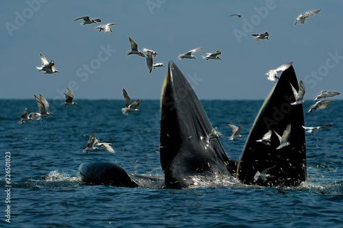 Fototapeta premium Bryde's Whales (Mother and Son) poluje na krewetki w morzu. To zdjęcie zostało zrobione w Tajlandii.