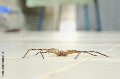 common huntsman spider crawling on home tile floor