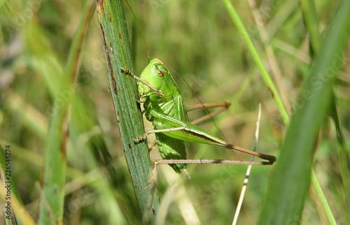 Green grasshopper Fototapet