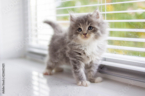 Obraz na plátně Grey Persian Little fluffy Maine coon kitten stands near door window and looking up